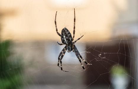 edderkoppe-forebyggelse
